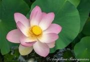 Lotus Flower 2