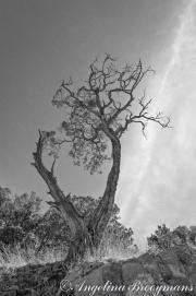 Coronado Forest
