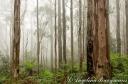 Foggy Gums