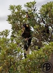 Black Parrot