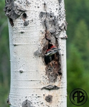 Pileated Babies