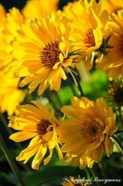 Balsam Bloom 2