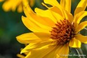 Balsam Bloom