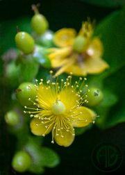 Gooseberry Blossom
