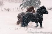 Icelandic Horse Play
