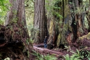Ang in Redwoods