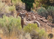 Bighorn Sheep Hwy 8