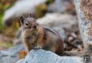 Cascade Ground Squirrel