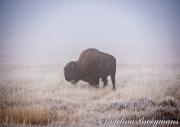 Frosty Buffalo
