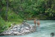 Goldbridge Deer