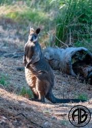 Morning Wallaby