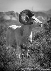 Nevada Ram