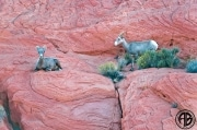 Sheep on Red Rocks